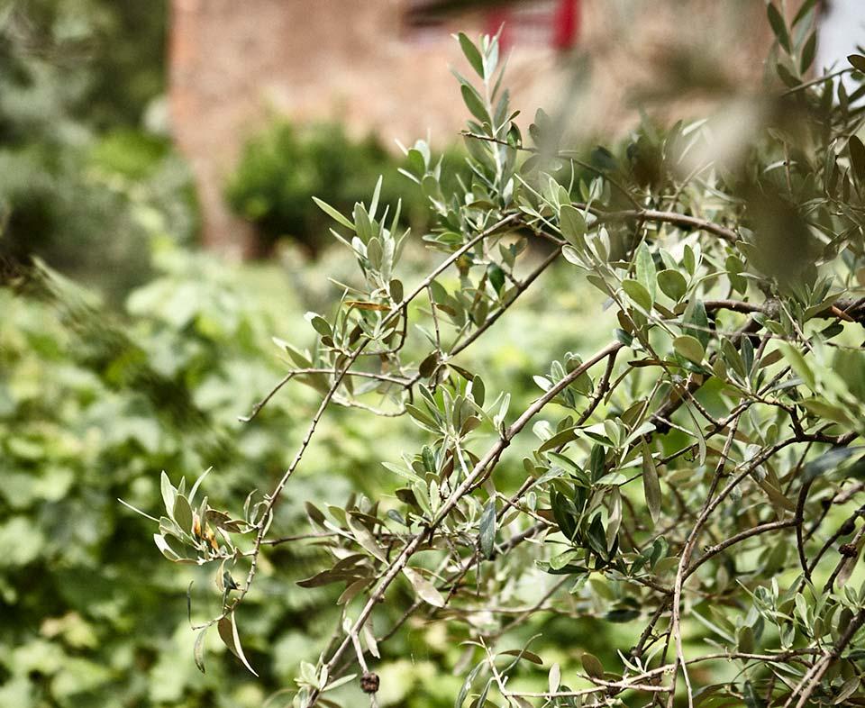 Podere Conca Bolgheri particolare di ulivo