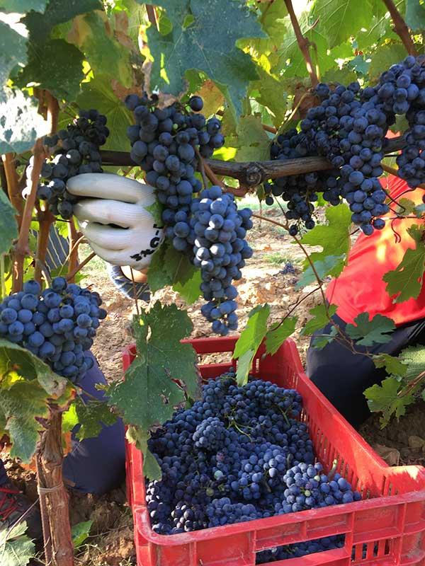 Raccolta grappoli di uva viola scuro per vendemmia