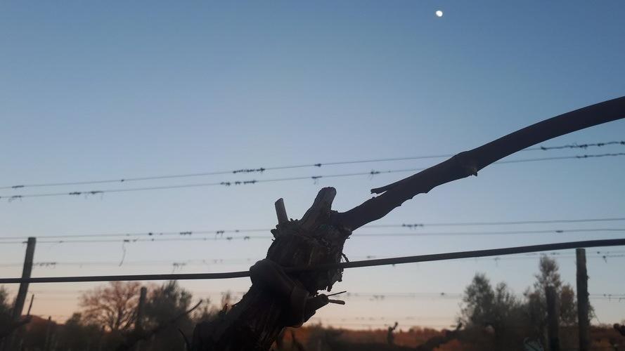 Élagage hivernale lune sur les vignobles
