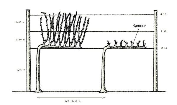 Illustrazione della potatura a guyot