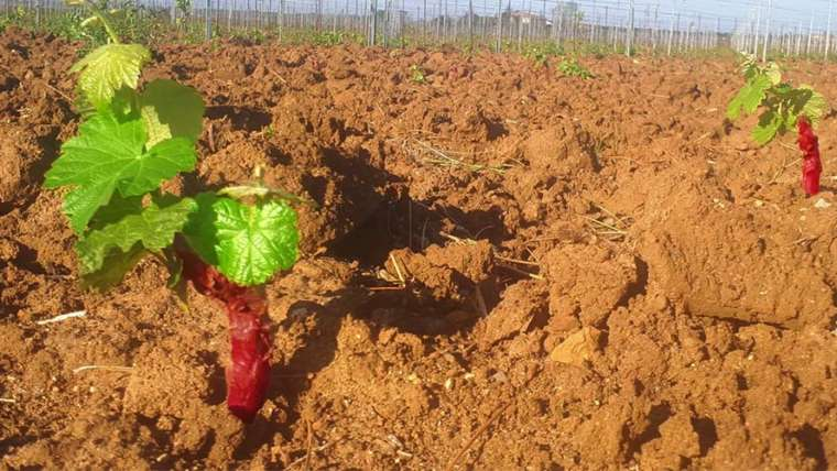 A New Vineyard at Podere Conca