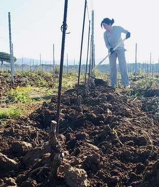 Travaux printaniers dans la vigne sous rangée