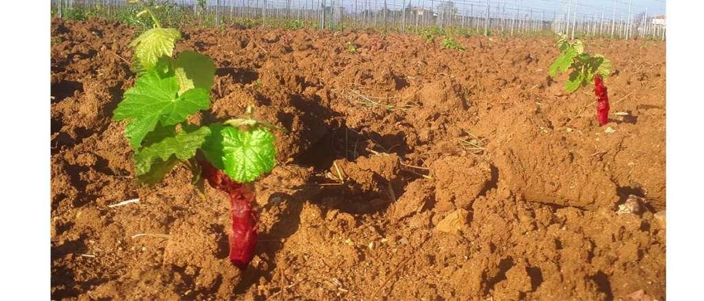 nouveau vignoble à Podere Conca