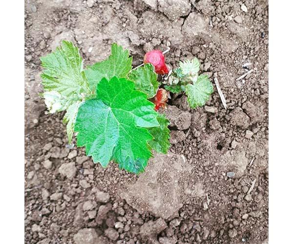 nouveau vignoble à Podere Conca plant