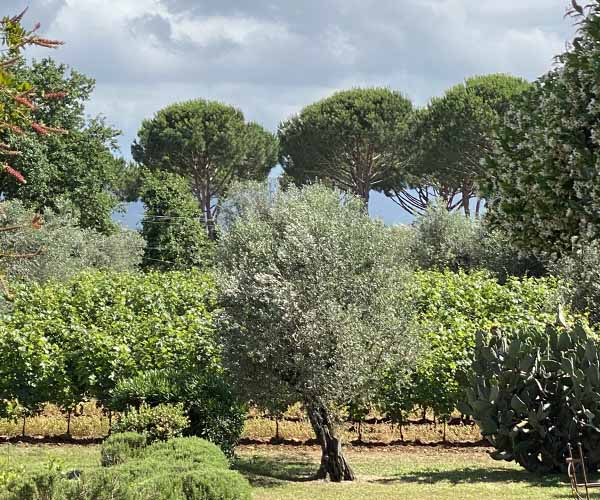 Retour à Podere Conca oliviers