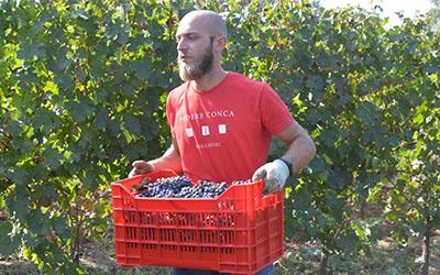Bolgheri wine 2020 a Cabernet Franc harvester