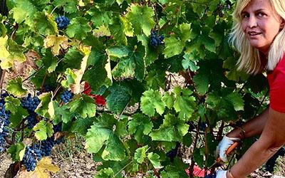 Bolgheri wine 2020: manual harvest