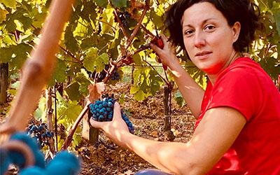 Bolgheri wine 2020. Manually harvesting