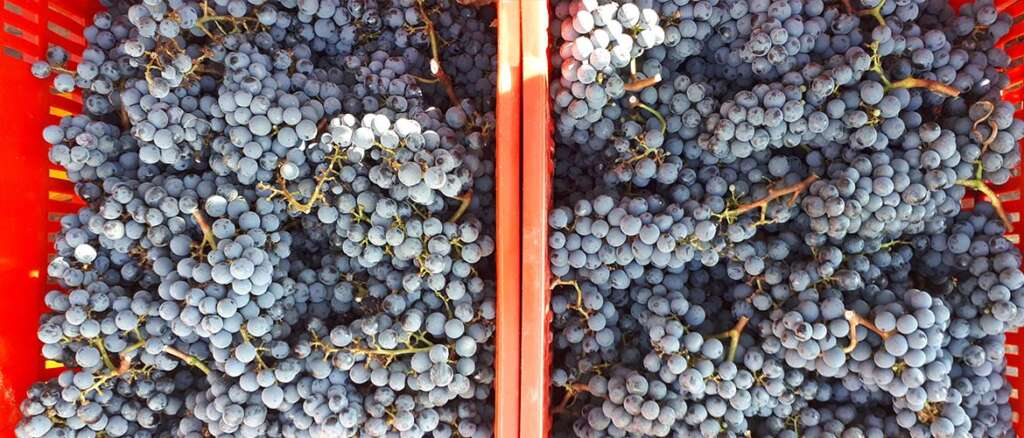 Bolgheri wine 2020. Cabernet franc