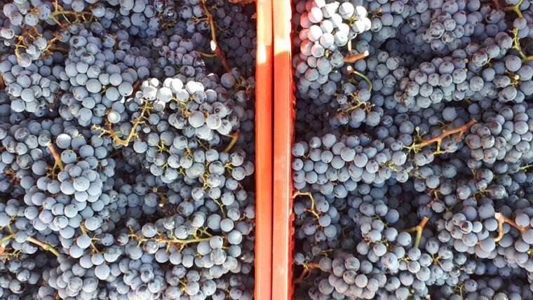 Bolgheri wine 2020: harvest has just been compled