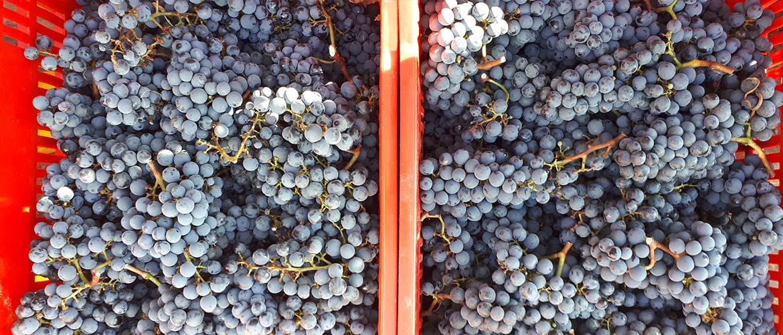 Bolgheri vino 2020: si è appena conclusa la vendemmia.