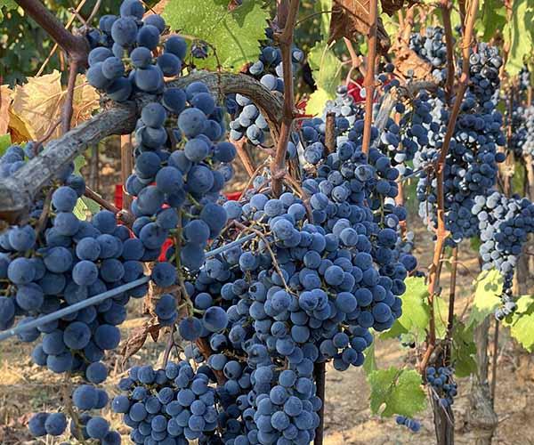 Grappoli di uva Cabernet Franc
