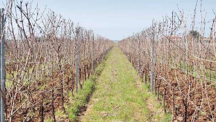 Élagage de la vigne 2021