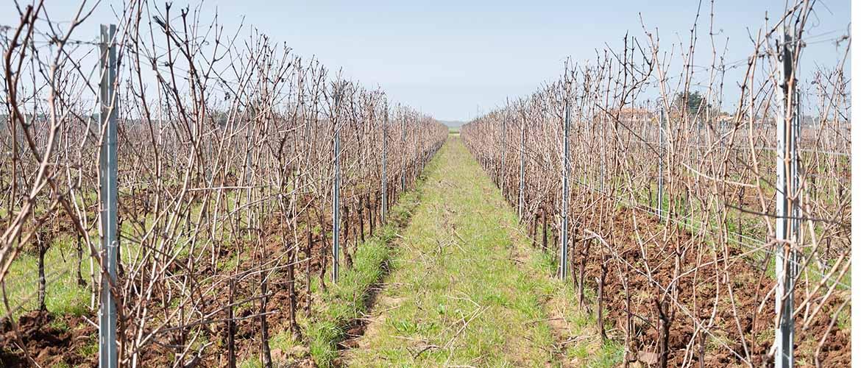 Vine Pruning 2021