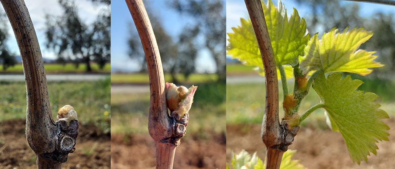 Gels printaniers, un danger pour la vigne et la production future