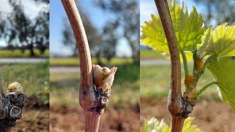 Gelate primaverili, un pericolo per le viti e la futura produzione
