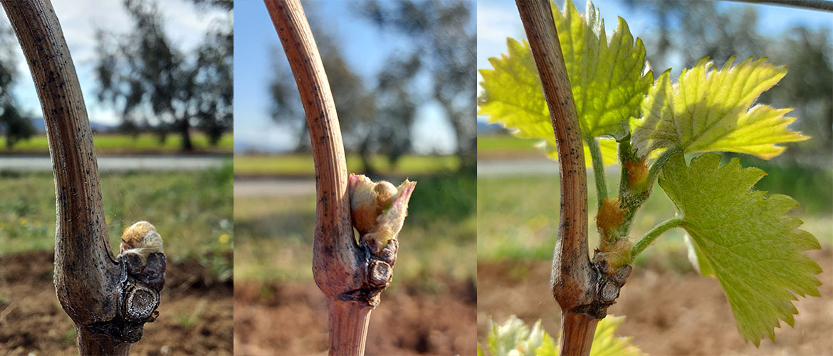 Spring frosts, a risk for sprouts and wine production