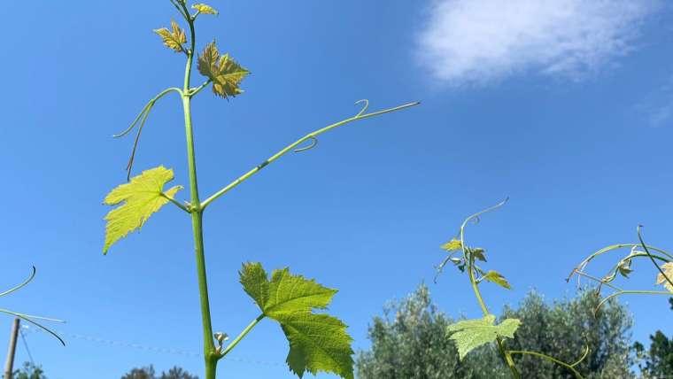 Saviez-vous que la vigne est un arbuste grimpant ?
