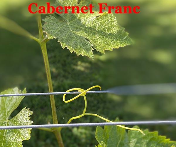 la vigne est un arbuste grimpant vrilles Cabernet Franc