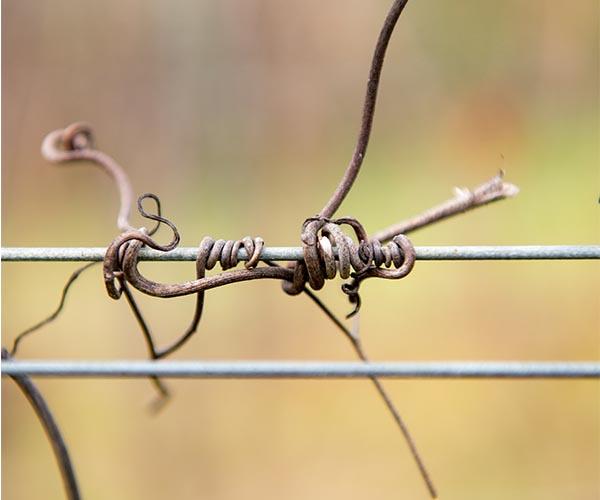 la vigne est un arbuste grimpant vrilles hiver