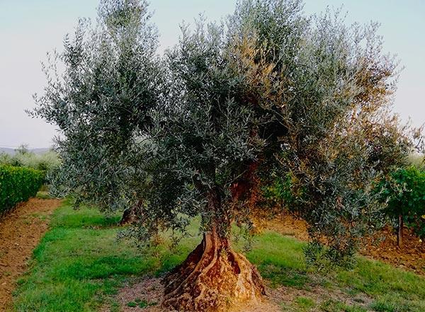 Vignobles et oliviers podere conca bolgheri