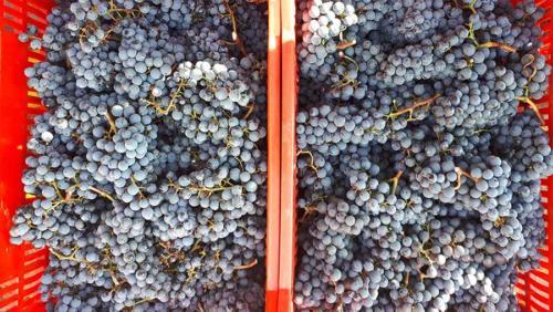 Grappoli di uva raccolti per vendemmia