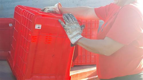 Vendange à Podere Conca 2019 boîtes rouges