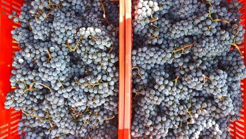 Vendange à Podere Conca 2019 raisins violet foncé